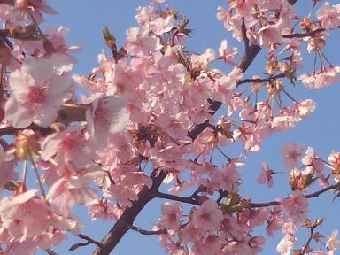 3月29日、福田公園の桜1