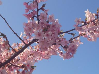 3月29日、福田公園の桜2