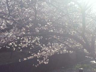 近所の公園の桜1