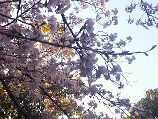 近所の公園の桜2