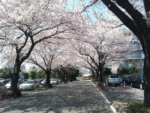 2012-04-12 11.39.34.サクラ並木JPG