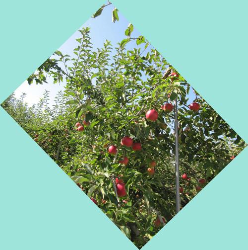 リンゴ×りんご