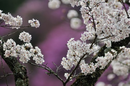 tutuji sakura
