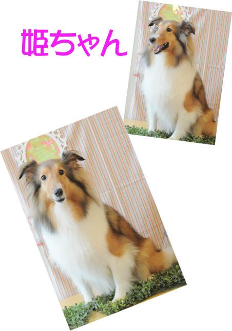 シェルティー 姫ちゃん