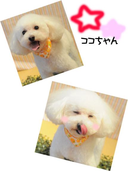 トイプードル ココちゃん2