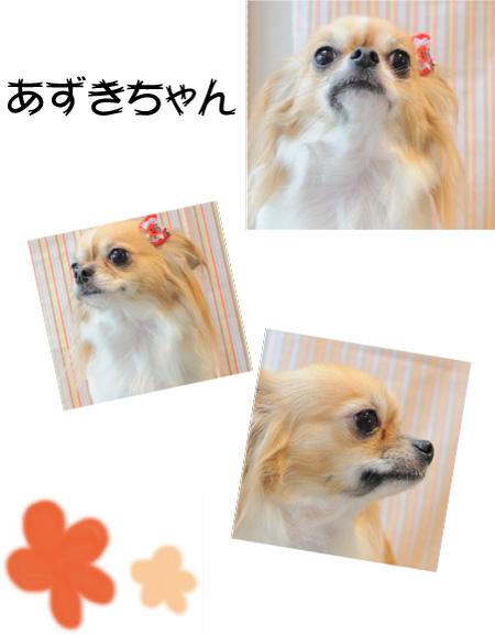 チワワ あずきちゃん