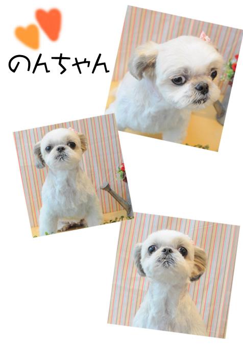 シーズー のんちゃん2