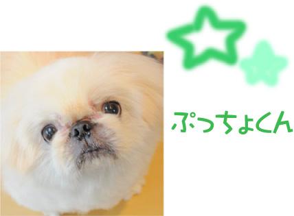 ペキニーズ ぷっちょくん2