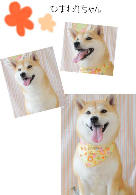 柴犬 ひまわりちゃん