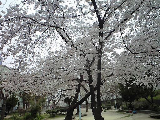 12.04桜CA391804