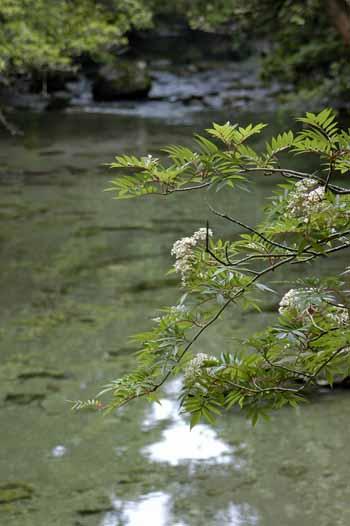 淀川小屋付近の七かまどの新緑と花と清らかに流れる水。