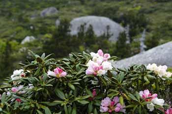 蕾のときは桃色、咲き終わりは白