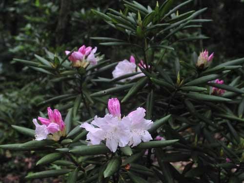 石楠花が咲いた