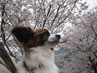 ローゼス君と桜2013 3・26