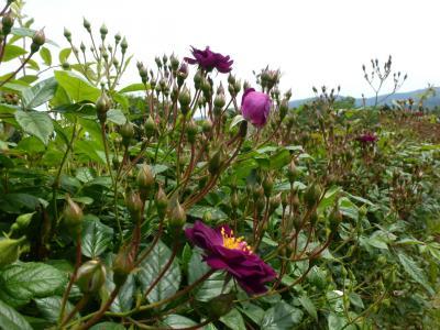 かのやバラ園バラ 2013 5・3