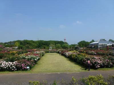 京成バラ園風景⑥ 2013 5・15