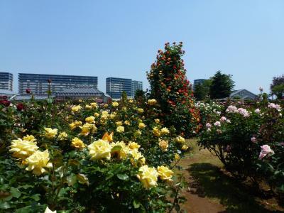 京成バラ園風景① 2013 5・15