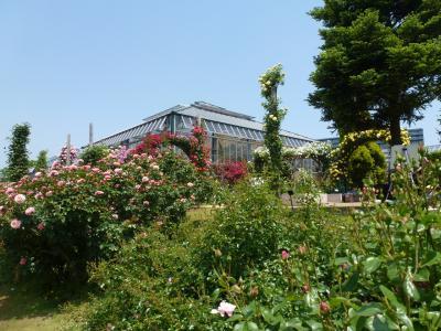 京成バラ園風景③ 2013 5・15