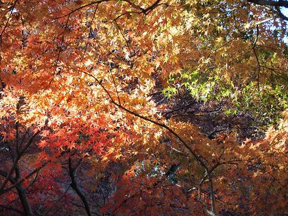 植物園の紅葉2