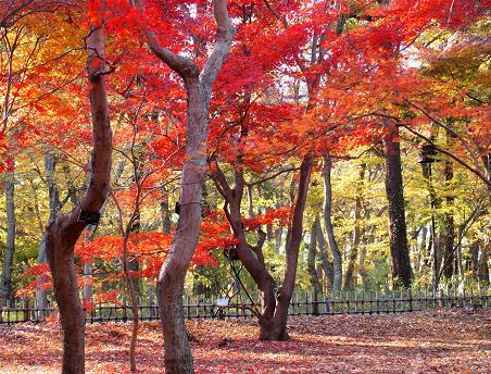 植物園の紅葉1