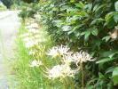 道沿いの白い彼岸花