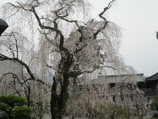 祖師堂前の枝垂れ桜