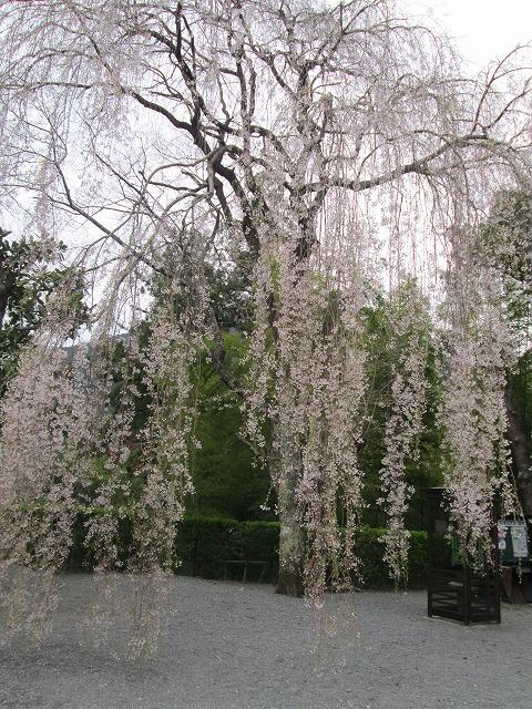 御真骨堂前の桜