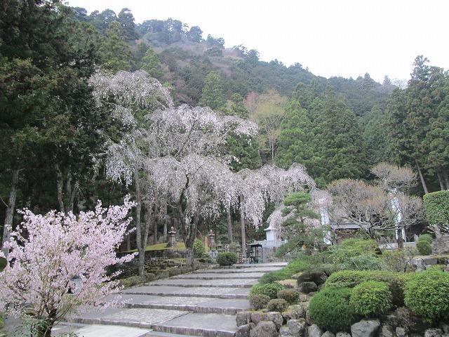 御廟所の桜