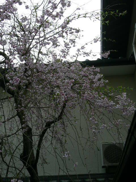 枝垂れ桜が満開