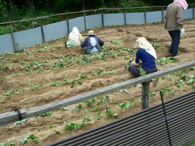 カライモ苗を植える