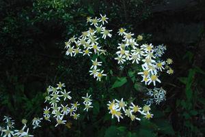 名前のわからない、よめなによく似た花8
