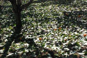 落下の柿と柿の葉5