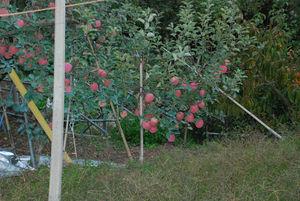 りんご17