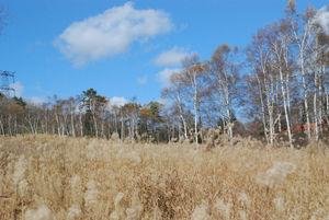 枯れ芒の草原と白樺88