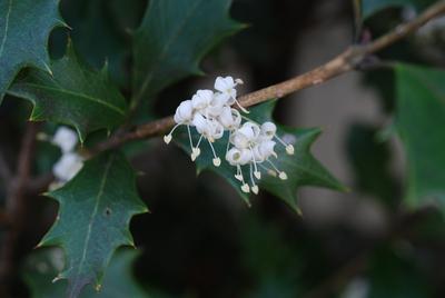 ヒイラギの白い花15
