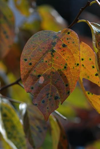 柿の葉20