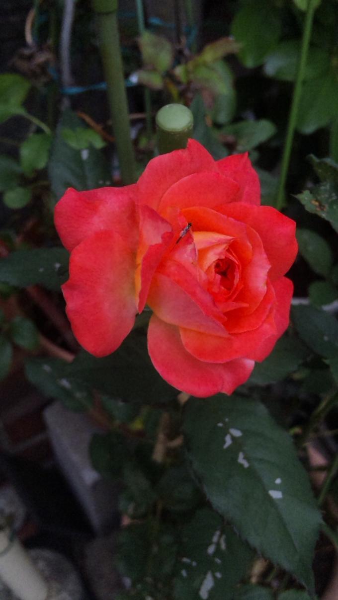 ROSE_20111019
