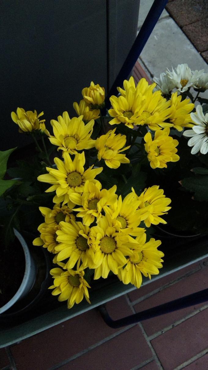 sunflower_20110920