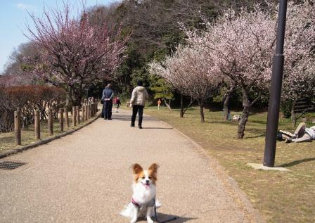 じゅんさい池でラビと梅の木