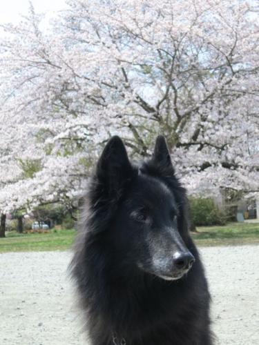桜2013-4