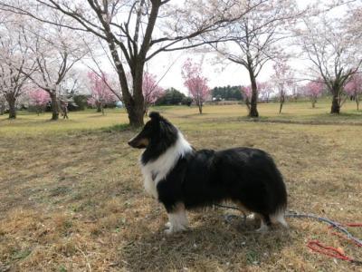 桜2013-3