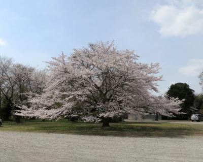 桜2013-6