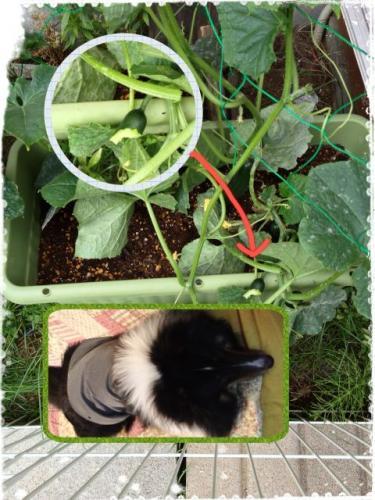 野菜泥棒5