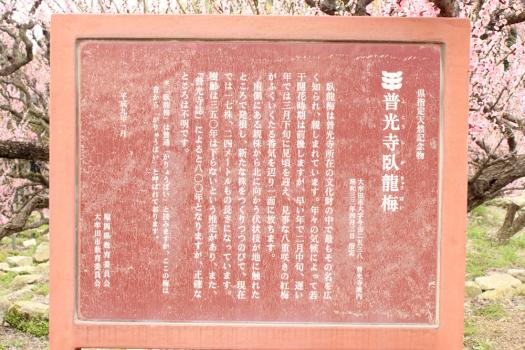 120320臥龍梅 (42)のコピー
