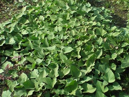 サツマイモの畝 9月中