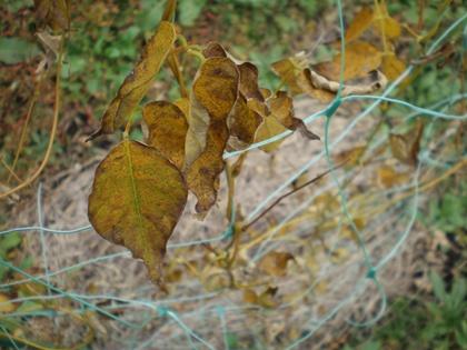 ほどいも葉 10月下旬