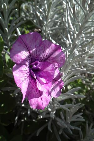 ペチュ紫11.9.16