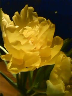 八重咲のチューリップ