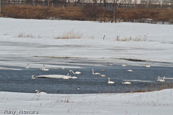 藻琴湖の白鳥