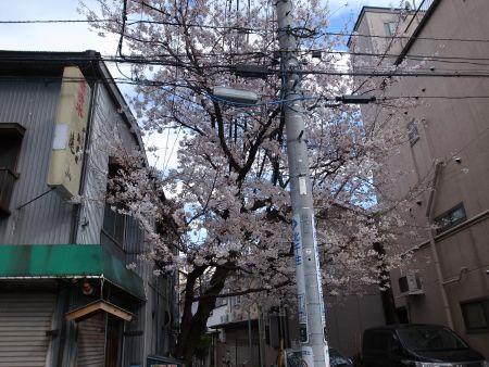 焼き鳥遠山さんの桜